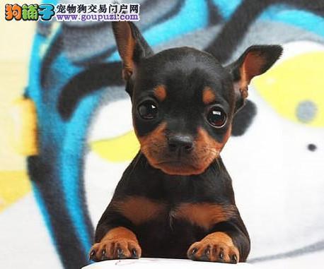 高品质小鹿犬幼犬质量三包 完美售后