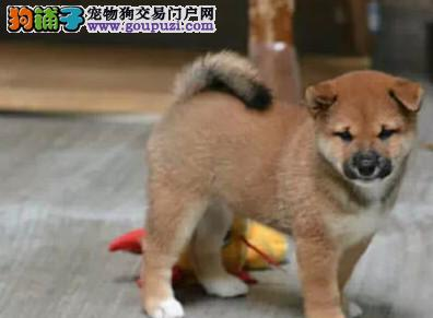 赛级柴犬宝宝驱虫 疫苗已做完 机不可失哦