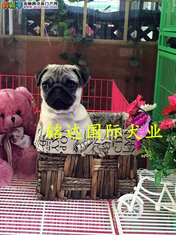 赛级巴哥幼犬预售中 驱虫 防疫已做完 健康有保障