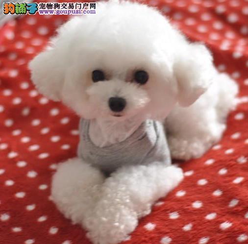 赛级贵宾幼犬出售中 驱虫 防疫已做完 健康有保障