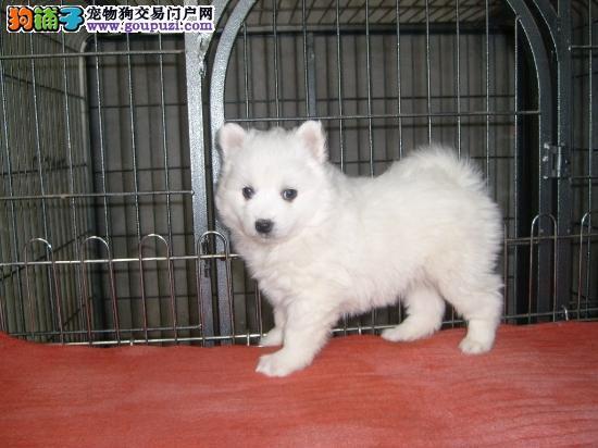 天津纯种犬繁殖基地售高品质银狐犬 签署合同售后完善
