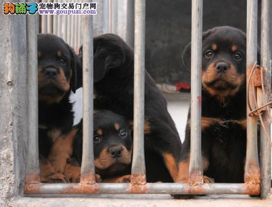 黑神血系 高品质罗威有幼犬 证书芯片齐全 签订协议