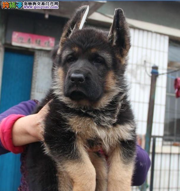 赛级 德国牧羊犬健康有保障 完美售后