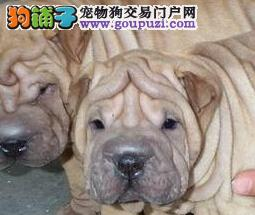 出售精品沙皮狗、疫苗齐全包养活、三年质保协议