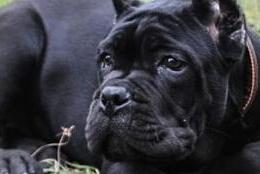 南宁繁育纯正血统卡斯罗犬已做完剪耳赛级品质卡斯罗