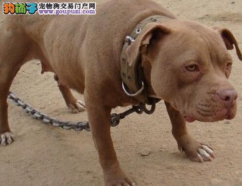 知名犬舍出售多只赛级比特犬请您放心选购