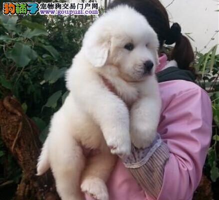 高品质 大白熊幼犬出售了 疫苗做完 质量三包