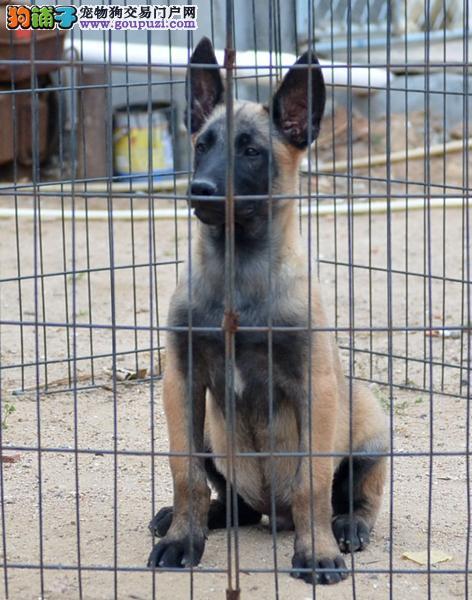大足县售马犬幼犬疫苗驱虫全多只可选比利时马犬