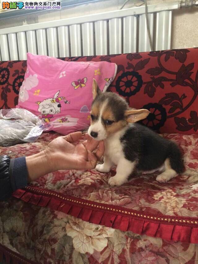 北京售威尔士柯基犬幼犬公母全有欢迎选购