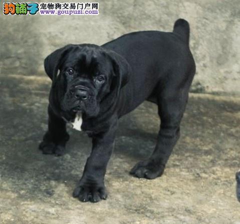 北京名犬繁育中心出售顶级猛犬卡斯罗幼 血统纯正图片