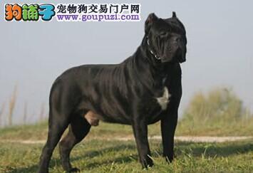 纯种卡斯罗幼犬 重头版大骨量 黑色勇士正规狗场保健康