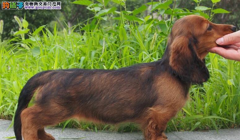 成都出售颜色齐全身体健康腊肠犬保证品质完美售后3
