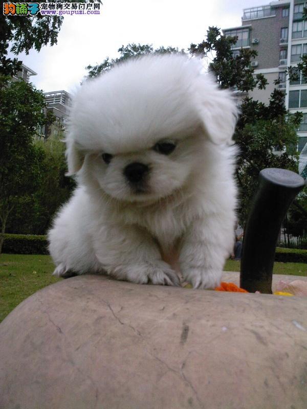 自家繁殖的纯种京巴找主人微信看狗可见父母