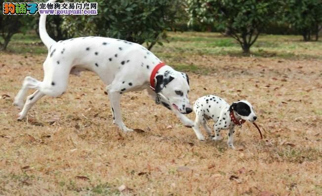 斑点狗幼犬热销中,顶级品质专业繁殖,签订终身合同3