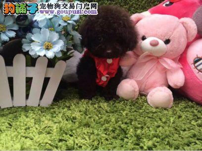 狗场直销 顶级韩系小体泰迪 价格合理 健康纯度保障
