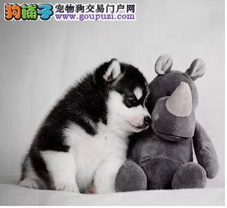 杭州专业繁殖三把火哈士奇幼犬 狗贩子勿扰 放心选购