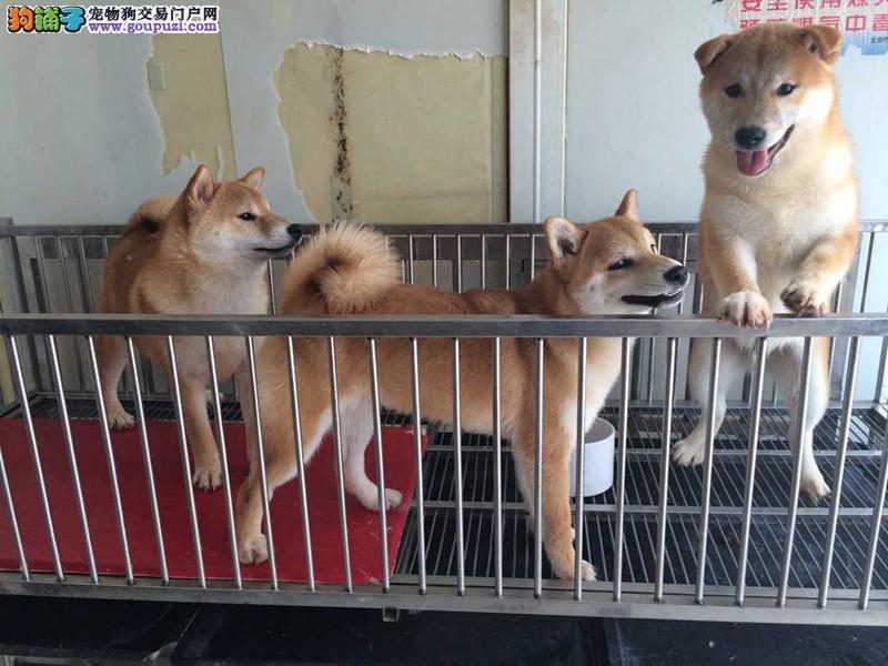 正宗日系柴犬,多只可选,签合同包健康三个月