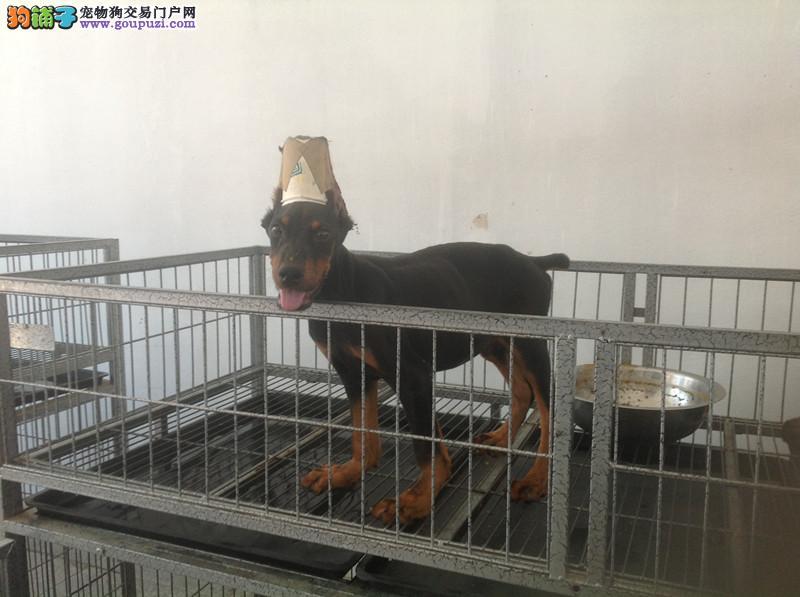 纯种德系杜宾犬 3个月幼犬 高贵气质 健康保障