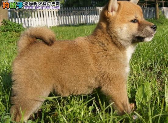 大连市柴犬繁殖基地疯狂出售纯种柴犬 数量有限