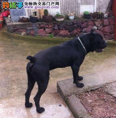 精品意大利卡斯罗护卫犬猛犬 质保三年签订协议可刷卡1