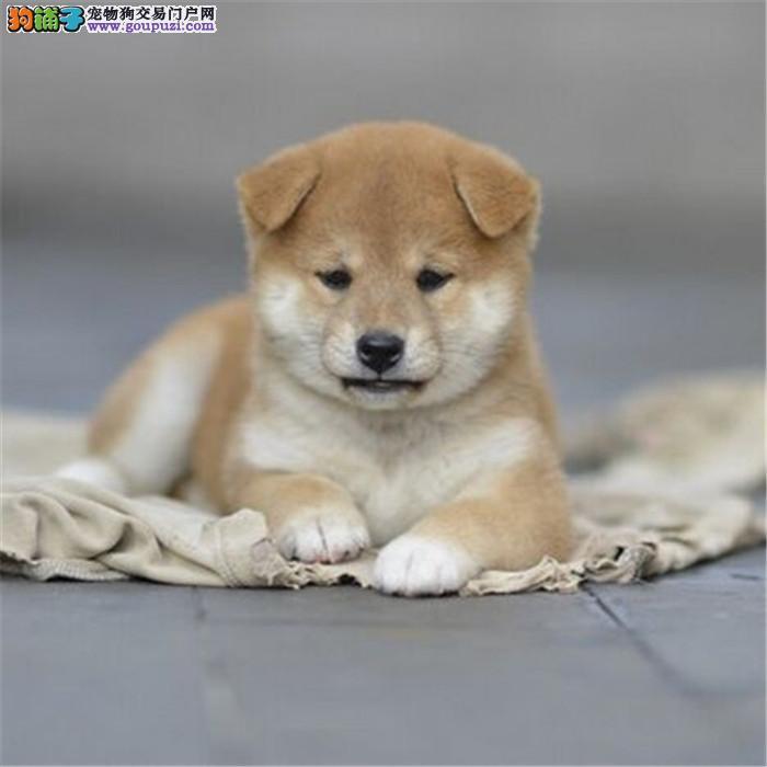 纯种柴犬幼犬出售 健康保障三个月 血统终身保障