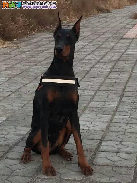 塞级品质纯种德系杜宾幼犬长期有售 欢迎订购图片