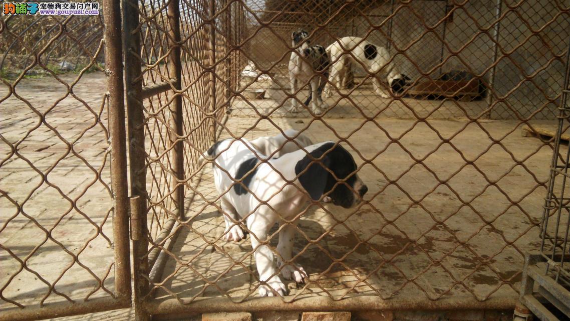 专业正规犬舍热卖优秀的长沙大丹犬我们承诺终身免费售后2