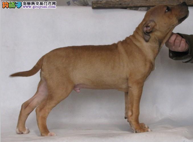 出售纯种健康的比特犬幼犬质量三包多窝可选