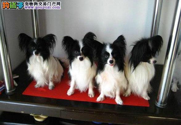 安康最大犬舍出售多种颜色蝴蝶犬可签订活体销售协议