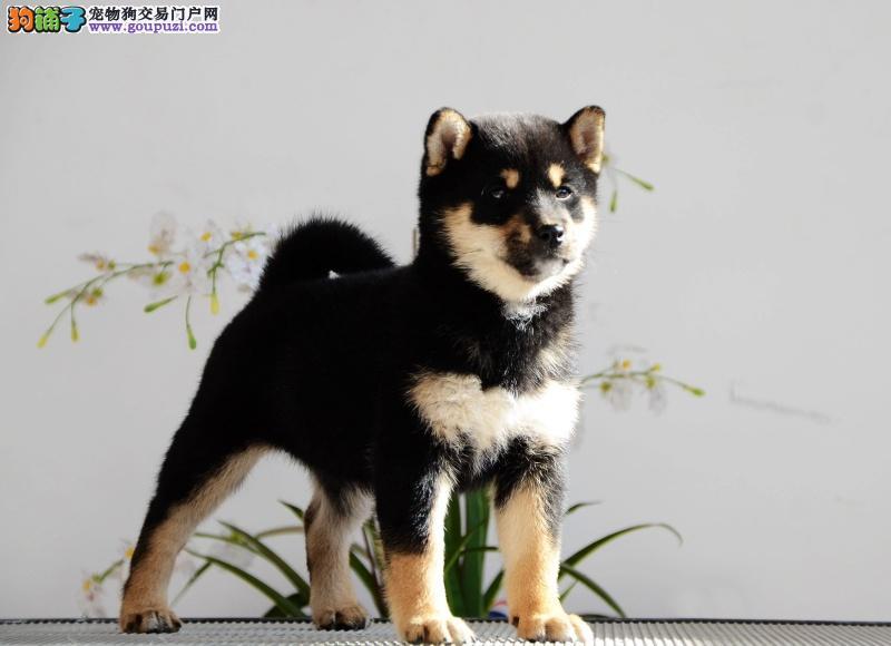 赛级日系柴犬出售白脸体正纯种柴犬价格包健康签合同