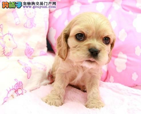 出售纯种可爱的可卡犬幼犬 健康保证 品质一流