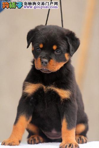 涪陵区出售罗威纳犬 CKU犬舍 纯种健康 签协议 包售后