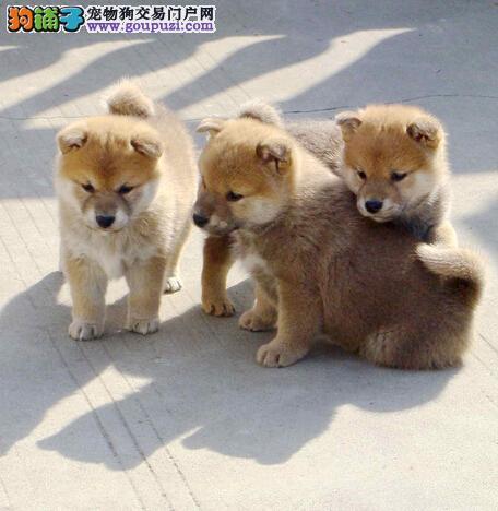乌鲁木齐专业柴犬繁殖赛级后代 血统纯正终身售后