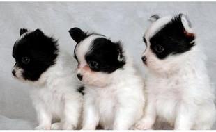 狗场直销蝴蝶犬宝宝品相极佳颜色齐全签订协议健康质