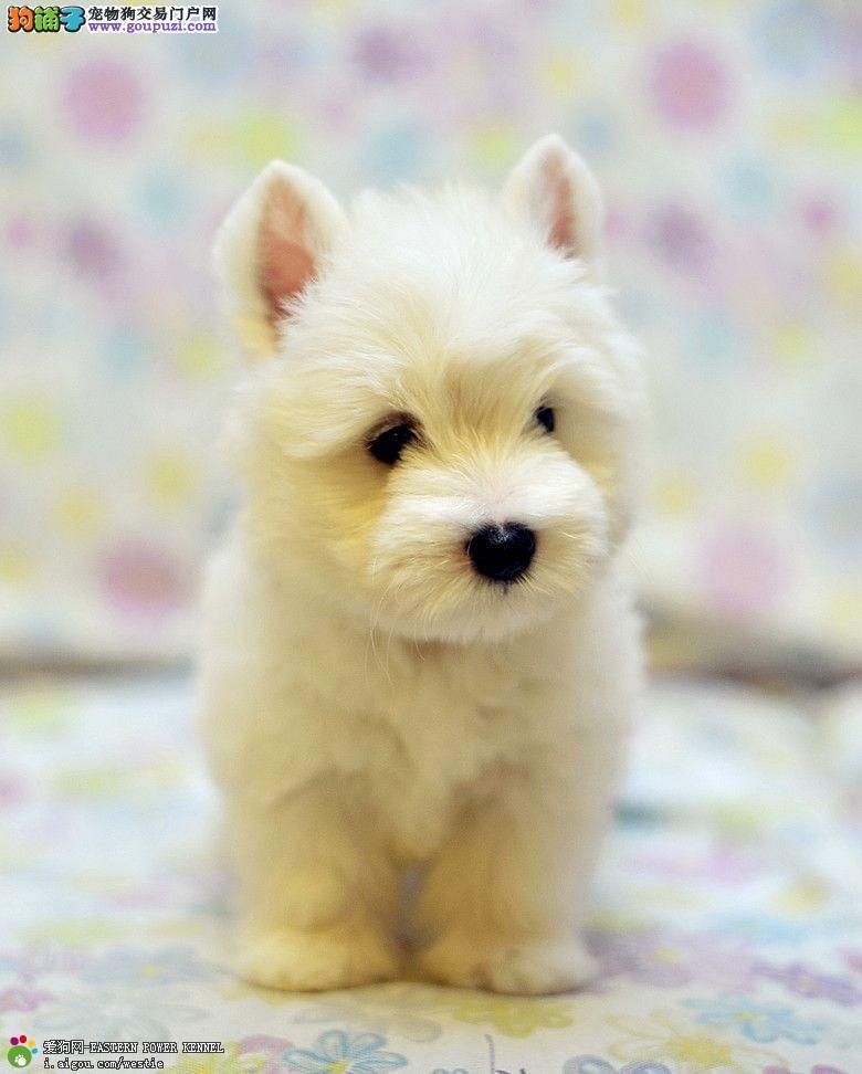 可爱又迷人西高地幼犬出售 贵族般气质 公母都有挑选