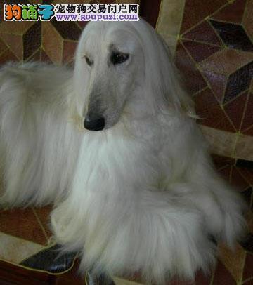 权威机构认证犬舍 专业培育阿富汗猎犬幼犬一分价钱一分货3