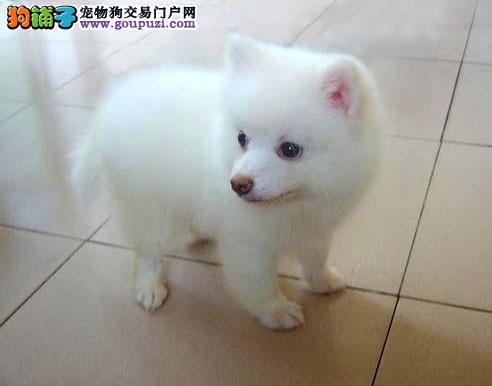 看银狐犬外貌特征,买狗最方便