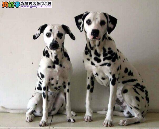 大庆特价出售大麦町犬 纯种斑点狗幼犬质保出售