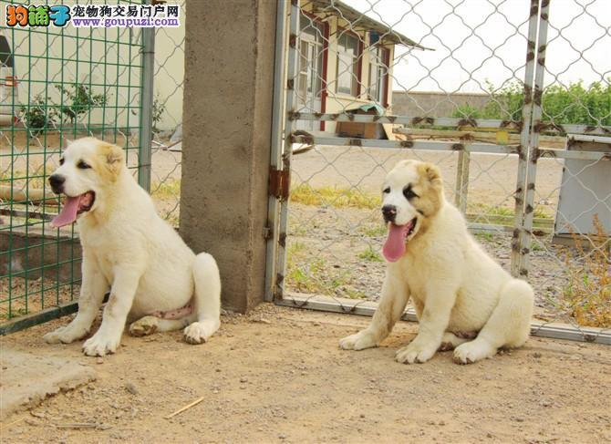 精品高品质中亚牧羊犬幼犬热卖中金牌店铺有保障