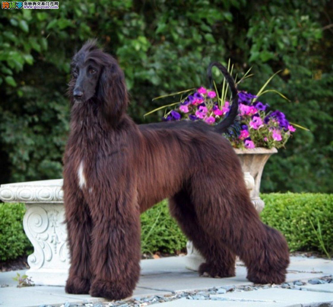 出售多种颜色南京纯种阿富汗猎犬幼犬南京市内免费送货3