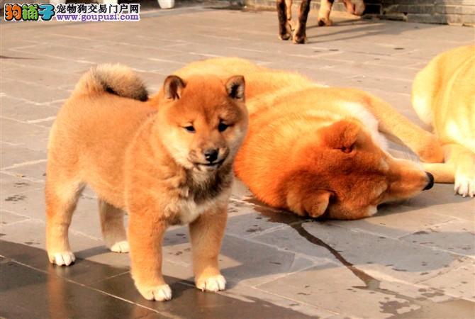 忠诚度最高的狗 台州售纯正日本进口柴犬专卖多窝柴犬