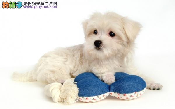 阜阳西高地哪里有卖双赛级血统活体宠物狗家养