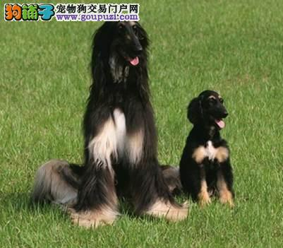 纯种阿富汗猎犬宝宝找主人微信看狗真实照片包纯