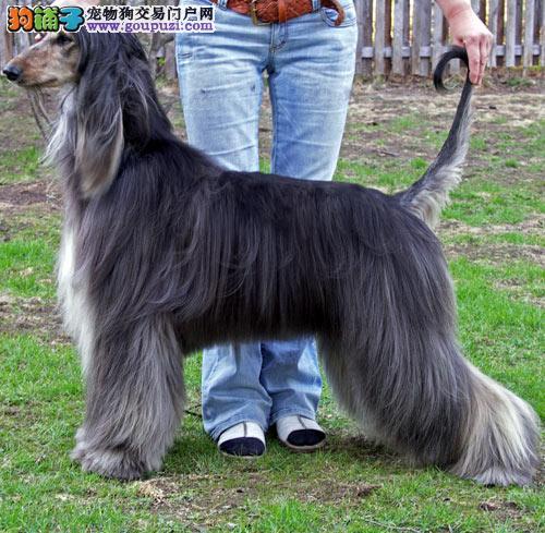 出售多种颜色南京纯种阿富汗猎犬幼犬南京市内免费送货2