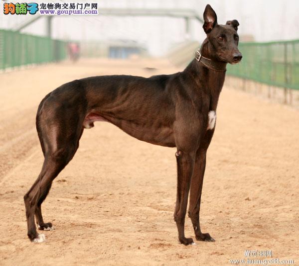 哈尔滨CKU认证犬舍出售高品质格力犬可直接视频挑选