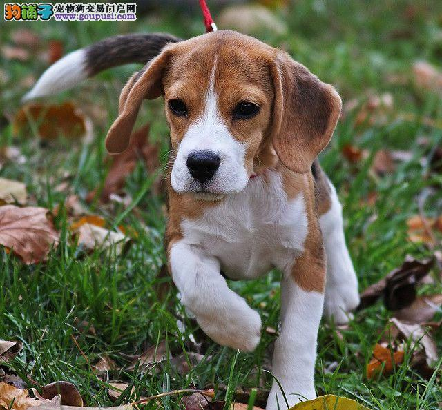 宜宾犬舍繁殖比格犬幼犬聪明可爱的伴侣犬血统纯保健康3