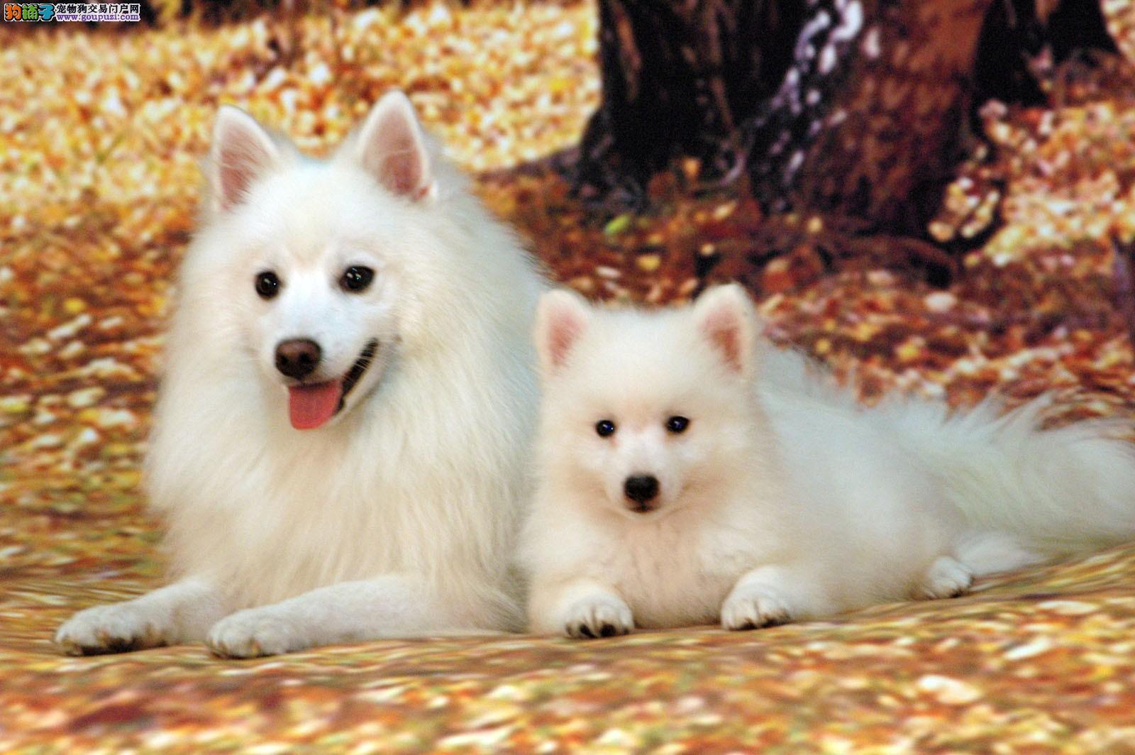 精品银狐犬 CKU认证血统 质量三包 完美售后