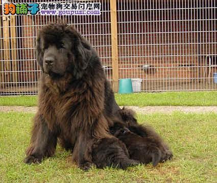 纽芬兰犬最大的正规犬舍完美售后国际血统证书2