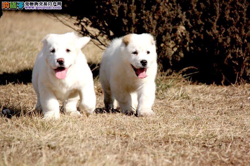 公母均有的中亚牧羊犬找爸爸妈妈一分价钱一分货4