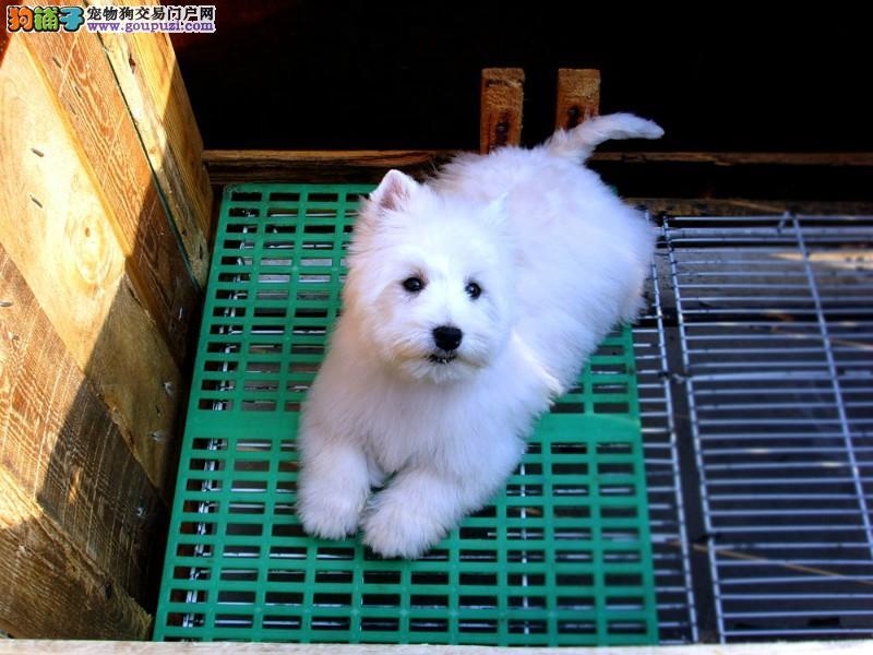 冠军级西高地宝宝待售名犬中心为您提供高品质犬宝宝